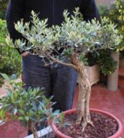 L 39 oliveraie du coudon l 39 olivier en bonzai - Periode taille olivier ...