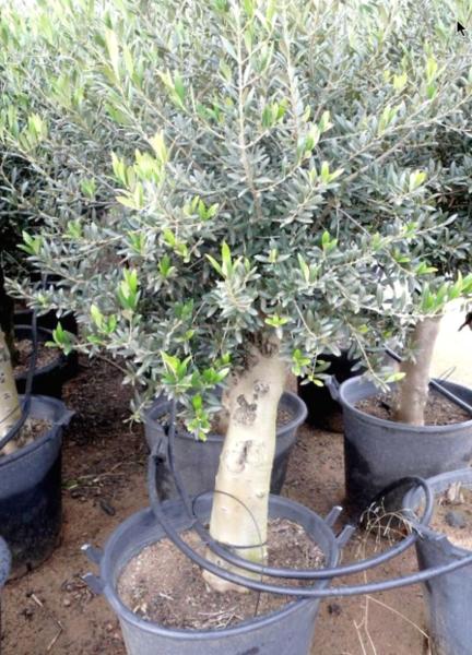 L 39 oliveraie du coudon l 39 olivier en pot - Arrosage olivier en pot ...